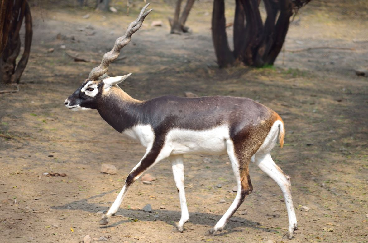 Blackbuck is the Mascot for South Asian Games 2019